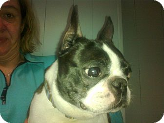 Boston Terrier Dog for adoption in Cumberland, Maryland - Booker