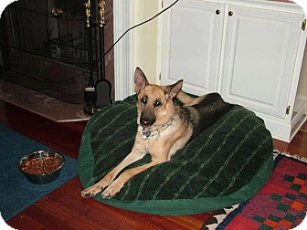 German Shepherd Dog Dog for adoption in Knoxville, Tennessee - Sam