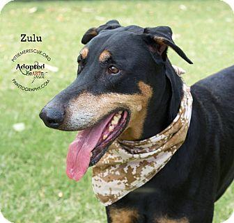 Doberman Pinscher Mix Dog for adoption in Gilbert, Arizona - Zulu
