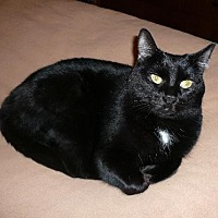 Domestic Shorthair Cat for adoption in Cincinnati, Ohio - zz 'Ali' courtesy listing