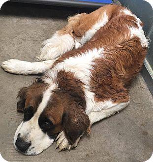 St. Bernard Dog for adoption in Denver, Colorado - Mercy