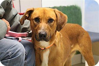 Retriever (Unknown Type)/Shepherd (Unknown Type) Mix Dog for adoption in Elyria, Ohio - Brady