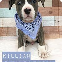 Adopt A Pet :: Killian - Toledo, OH