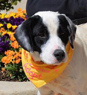 Labrador Retriever/Border Collie Mix Dog for adoption in Rockville, Maryland - Bobo