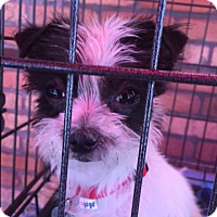 Adopt A Pet :: PJ - North Hollywood, CA