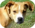 Terrier (Unknown Type, Medium)/Boxer Mix Dog for adoption in Lincolnton, North Carolina - Dusty
