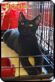 Domestic Shorthair Kitten for adoption in Merrifield, Virginia - Michelob