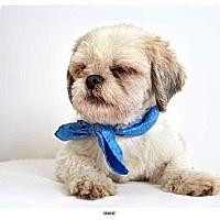 Adopt A Pet :: Shane - New York, NY