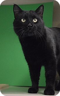 Domestic Shorthair Cat for adoption in Midland, Texas - Stanley