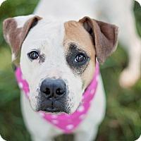 Adopt A Pet :: Effervescent Effie! - Houston, TX
