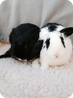 Lop-Eared Mix for adoption in Watauga, Texas - Ashton & Addie