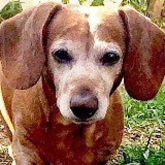Dachshund Dog for adoption in Houston, Texas - Paul Putter