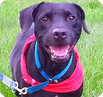 Labrador Retriever Mix Dog for adoption in Huntington, New York - Buddy Boy - N