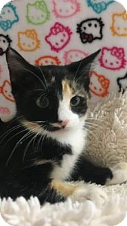 Domestic Shorthair Kitten for adoption in Fountain Hills, Arizona - YALLA