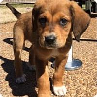 Adopt A Pet :: Mable - Nashville, TN