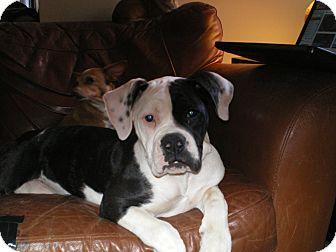 American Bulldog Puppy for adoption in Apex, North Carolina - Kelsey