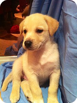 Hound (Unknown Type)/Husky Mix Puppy for adoption in Largo, Florida - Opal