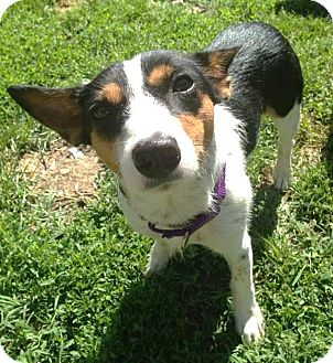 Jack Russell Terrier/Terrier (Unknown Type, Small) Mix Dog for adoption in North Olmsted, Ohio - Lilac