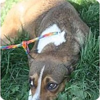 Adopt A Pet :: Bailey - URGENT FOSTER NEEDED - Seattle, WA