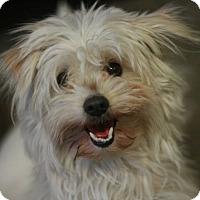 Adopt A Pet :: Amber - Canoga Park, CA