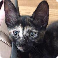 British Shorthair Kitten for adoption in Miami, Florida - Antifaz
