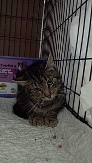 Domestic Shorthair Cat for adoption in Clarkson, Kentucky - Jerry