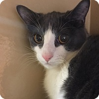Domestic Shorthair Kitten for adoption in Statesville, North Carolina - Pacey