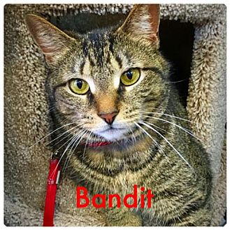 Domestic Shorthair Cat for adoption in York County, Pennsylvania - 16-067 Bandit