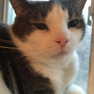 Domestic Shorthair Cat for adoption in Montreal, Quebec - Gougoune