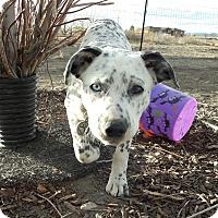 Adopt A Pet :: Orion - Colorado Springs, CO