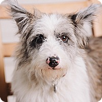 Adopt A Pet :: Daisy May - Portland, OR