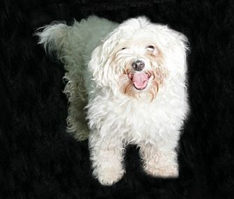 Bichon Frise/Maltese Mix Dog for adoption in Norwalk, Connecticut - Popcorn