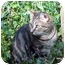 Photo 1 - Domestic Shorthair Cat for adoption in Columbia, Maryland - Luna