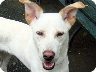 Shepherd (Unknown Type) Mix Dog for adoption in Long Beach, New York - Joplin