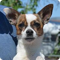 Adopt A Pet :: Bravo - Aurora, CO