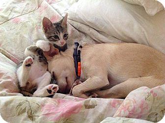 American Shorthair Kitten for adoption in Texarkana, Arkansas - Neptune
