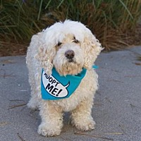 Poodle (Miniature) Mix Dog for adoption in Pacific Grove, California - Dixie