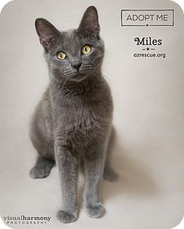 Russian Blue Cat for adoption in Phoenix, Arizona - Miles