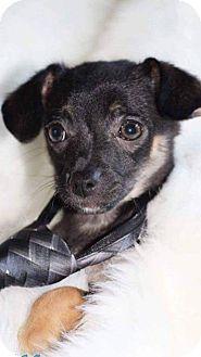 Dachshund/Chihuahua Mix Puppy for adoption in Wichita, Kansas - Murtaugh