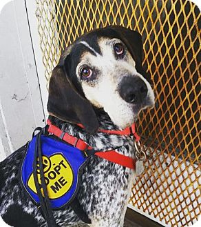 Bluetick Coonhound Dog for adoption in Washington, D.C. - Roy