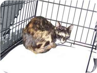 Domestic Shorthair Cat for adoption in Syracuse, New York - Isis