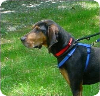 Black and Tan Coonhound Dog for adoption in Waldorf, Maryland - Chappy