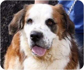 St. Bernard Dog for adoption in Glendale, Arizona - Tiny