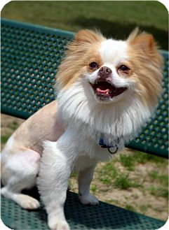 Pomeranian/Pekingese Mix Dog for adoption in Bridgeton, Missouri - Leo-Adoption pending