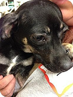 Rat Terrier Mix Dog for adoption in Edmond, Oklahoma - Munchie