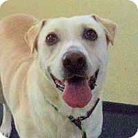 Shar Pei/Retriever (Unknown Type) Mix Dog for adoption in Bergheim, Texas - Champ