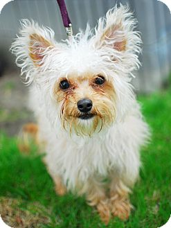 Maltese/Yorkie, Yorkshire Terrier Mix Dog for adoption in Detroit, Michigan - Java-Adopted!