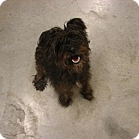 Adopt A Pet :: Scottie - Fort Scott, KS