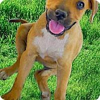 Adopt A Pet :: Honey big lover - Sacramento, CA