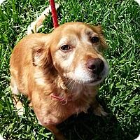 Adopt A Pet :: Suzy - Kingwood, TX